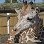 Giraffes at Zoo World - Panama City Beach